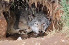 Wolf. Grey wolf in a hole in nature Stock Image