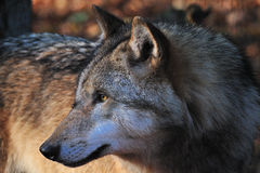 Wolf. Gray wolf is watching another wolf Stock Images