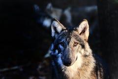 Wolf Stockfoto