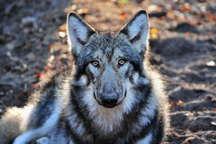 Wolf. Gray wolf is lying in the wood Stock Image
