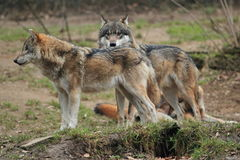Wolf Royalty Free Stock Photography