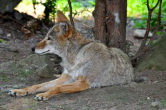 Wolf. Young wolf calm and complative resting Stock Photography
