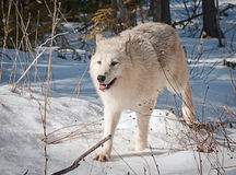Wolf Royalty Free Stock Photo
