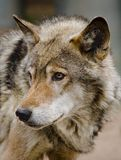Wolf. Steppe Wolf Royalty Free Stock Photo