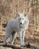 Wolf. A Grey Wolf (Canis lupus Stock Photos