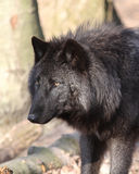 Wolf. Grey Wolf (Canis lupus Stock Photography