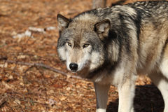 Wolf. Grey Wolf (Canis lupus Royalty Free Stock Photo