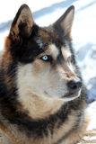 Wolf. A beautiful wolf with two different colored eyes Royalty Free Stock Image