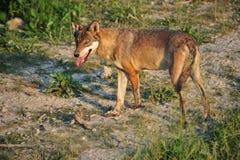 Wolf Royalty-vrije Stock Foto