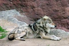 Wolf Royalty Free Stock Photos
