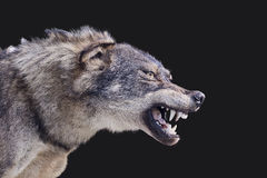 Wolf. Aggressive wolf stuffed canis spain stock photo
