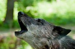 Wolf Royaltyfri Fotografi