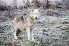 wolf Royaltyfria Foton