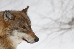 Free Wolf Stock Images - 27411294