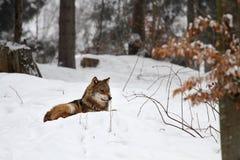 Wolf Fotografering för Bildbyråer