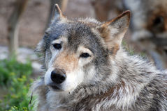 Wolf. The muzzle of wolf close-up Stock Photography
