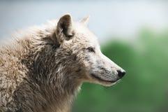 Wolf Stock Photo