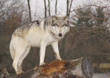 Free Wolf Stock Photography - 29774062