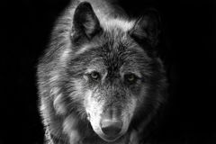 Wolf. Shots of wolves close up head shots Stock Photography