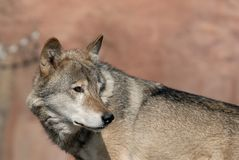 Wolf. In the Moscow zoo Royalty Free Stock Photography