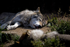 The wolf Royalty Free Stock Images