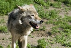 Wolf. With open jaw in steppe in summer sunny day Stock Image