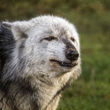 Wolf. Grey wolf head only small snarl Stock Photography