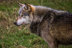 Wolf. Grey wolf head and front legs Royalty Free Stock Photo