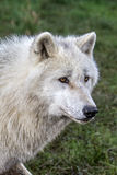 Wolf. Arctic wolf head only on a grass background Stock Photo