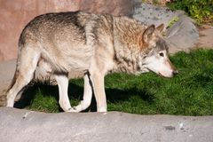 Wolf. Nice close up portrait of gray wolf Royalty Free Stock Photos