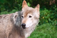 Wolf. Nice close up portrait of gray wolf Royalty Free Stock Photo