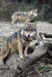 Wolf. Grey wolf in all his owen beauty stock photography