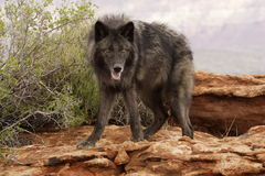 Wolf. Black colored wolf standing on red sandstone ledge with green foliage in background Royalty Free Stock Photography