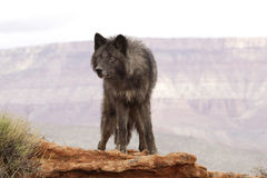 Wolf. Black colored wolf standing on red sandstone ledge with distant mountain in background Stock Photography