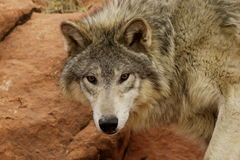 Wolf. Portrait of grey wolf looking straight ahead Stock Photo