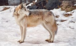 Wolf. Picture of wolf looking backward in winter season Stock Photography
