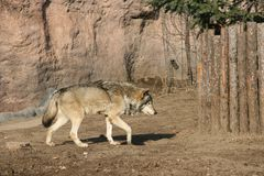 Wolf Stockfotos