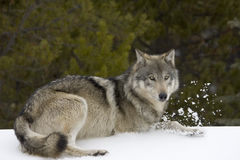 Wolf. Shoot near Maligne Lake in Jasper National Park, Canada Stock Photography