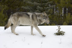 Wolf. Shoot near Maligne Lake in Jasper National Park, Canada Royalty Free Stock Photo
