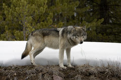 Wolf. Shoot near Maligne Lake in Jasper National Park, Canada Royalty Free Stock Images