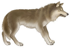 Wolf. The grey wolf on a white background Stock Image