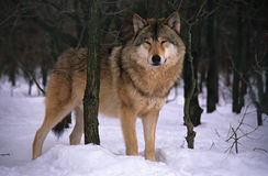 Wolf. In winter Stock Photography