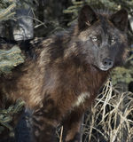 Wolf. Timber wolf,black phase. Northern Minnesota Royalty Free Stock Photo