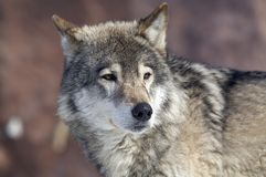 Wolf. The looking wolf Stock Image
