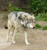 Wolf. Stock Afbeelding