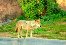 Wolf. The  wolf has turned back to be convinced of the safety Royalty Free Stock Images
