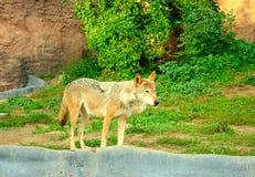 Wolf lizenzfreie stockbilder