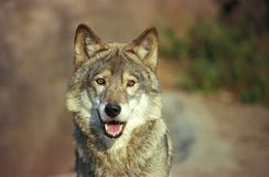 Wolf. The central Russia, the Yaroslavl area Stock Photos