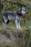 Wolf. A grey wolf in woodland Royalty Free Stock Photography