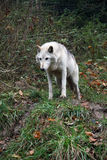 Wolf. A white wolf in woodland Stock Photo